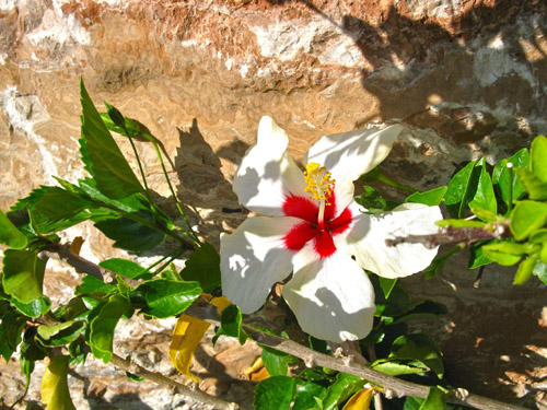 Hibiscus Mojacar thanks