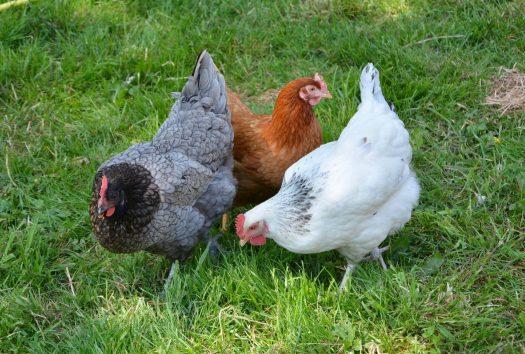 Back yard chickens hens