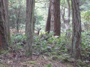 Deer near the trail from English Camp to Young Hill, San Juan Island