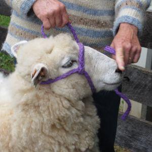 Coopworth ewe at Maryland Sheep & Wool Festival