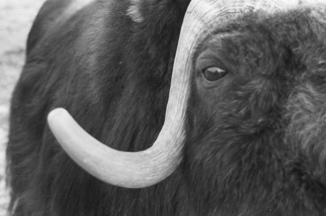 Musk ox by Dominic Cotignola