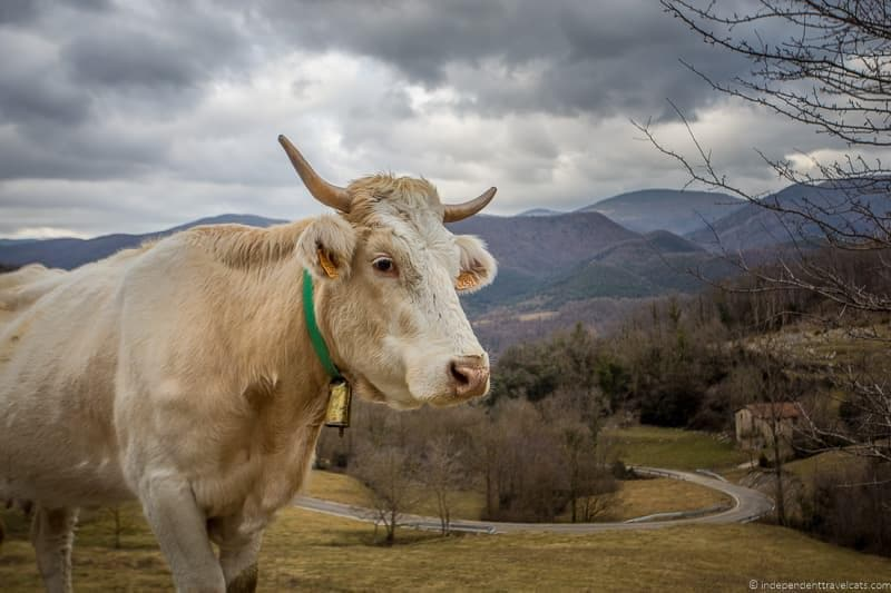 cow things to do in the Spanish Pyrenees in Catalonia Spain