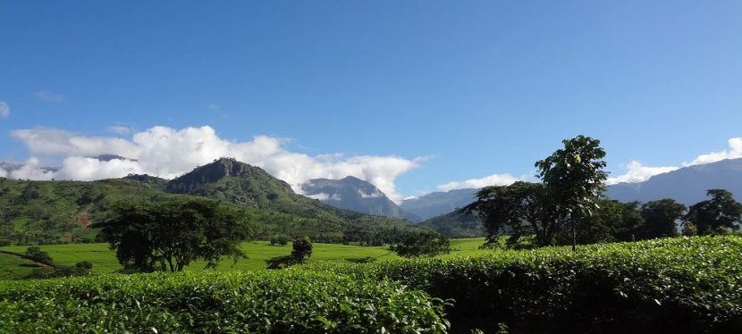 Impact of Climate Change on Tea Production in Malawi – Review of a Workshop