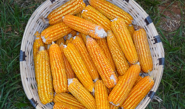 Fighting Hidden Hunger in Tanzania:  Provitamin A Maize Platform is Launched