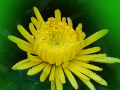 Chrysanthemums, Ants and Other Traditions