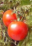 Bountiful Harvest of Tomatoes