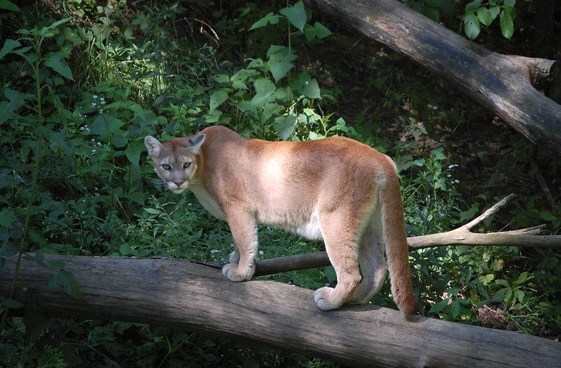 The Mountain Lion of Cupertino and the Maneater of Kumaon