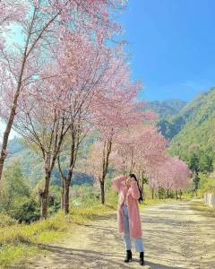 cherry blossom in Manipur