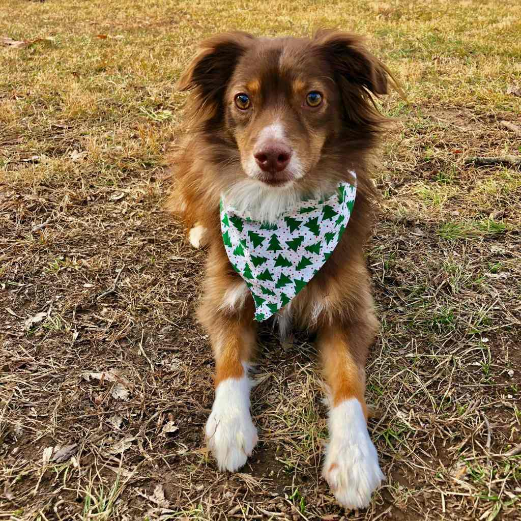 Red Tri Mini Aussie in Christmas Scarf