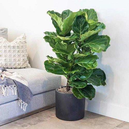 22 Best Large Indoor Plants Tall Houseplants India Gardening