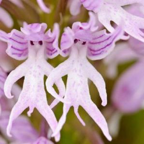naked-man-orchid-orchis-italica [5]