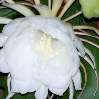 Rare Wish Fulfilling Brahma Kamal Blooms Tonight