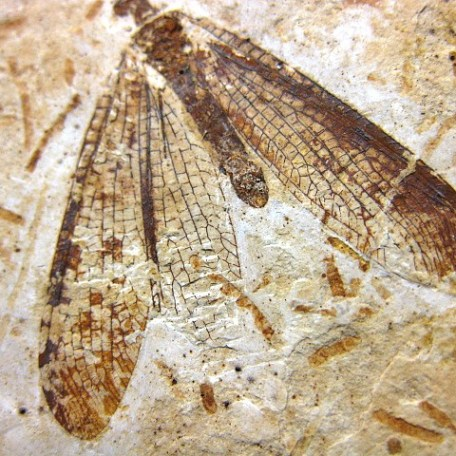 Cretaceous Age Fossil Insect from Crato Formation in Brazil