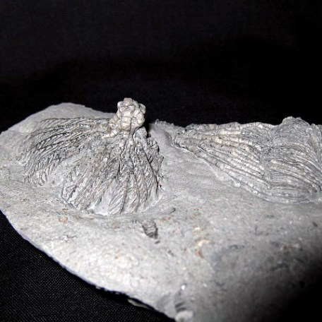 Mississippian Age Pachylocrinus aequali Crinoid from Crawfordsville Indiana