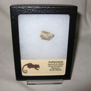 Oligocene Age Fossil Ischyromys Rodent Jaw from the Brule Formation of South Dakota