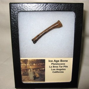 Pleistocene Age Fossil Bone from La Brea Tar Pits in California