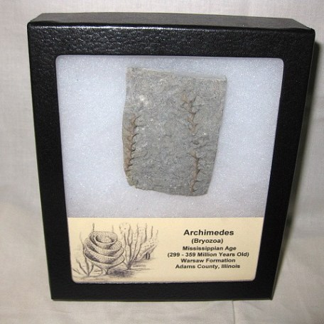 Mississippian Age Fossil Archimedes Bryozoa from The Warsaw Formation of Illinois