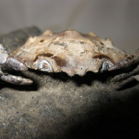 Fossil Eocene Age Harpactocarinus Crab from Igualada Spain