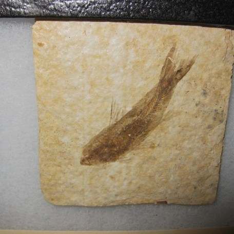 Fossil Eocene Age Knightea Fish from The Green River Formation of Wyoming