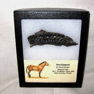 Fossil Miocene Age Anchippus 3-Toed Horse from Dixie County Florida
