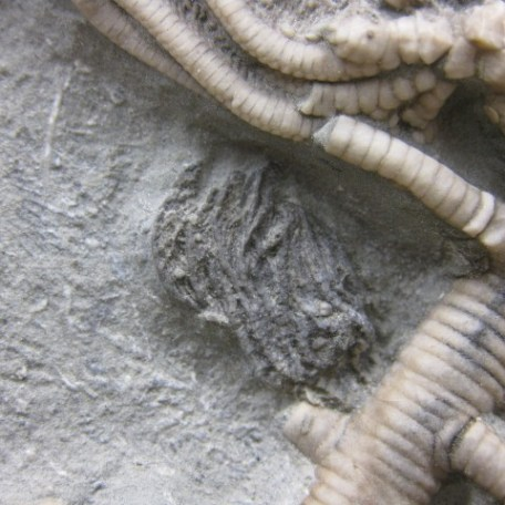 Fossil Mississippian Age Actinocrinites Gibsoni Mass Mortality Crinoid Plate from Crawfordsville Indiana