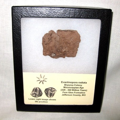 Fossil Mississippian Age Evactinopora radiata Bryozoa Colony from Missouri
