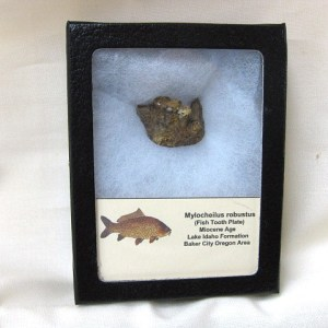 Fossil Miocene Age Mylocheilus Robustus Pharyngeal Fish Jaw from Oregon