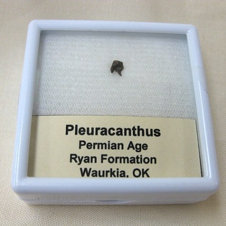 Fossil Permian Age Pleuracanthus Shark Tooth from Oklahoma