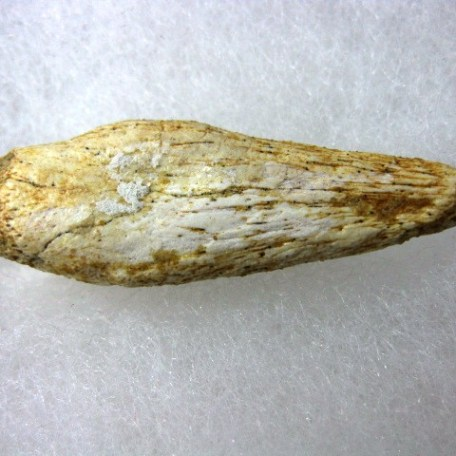 Fossil Cretaceous Age Spinosaur Dinosaur Claw from Morocco North Africa