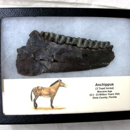 RARE Fossil Miocene Age Anchippus 3-Toed Horse Lower Jaw with complete dentition from Florida