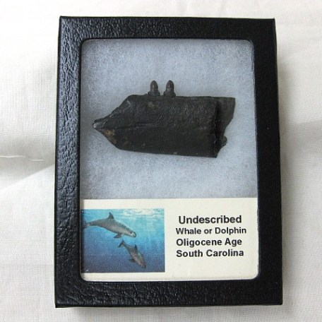 Fossil Oligocene Age Undescribed Whale or Dolphin Jaw from South Carolina