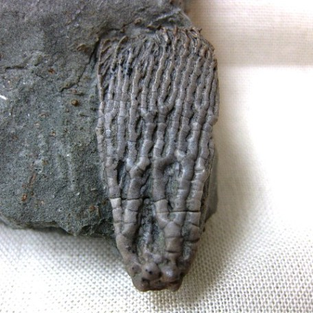 Fossil Mississippian Age Pachylocrinus Crinoid Plate from Crawfordsville Indiana
