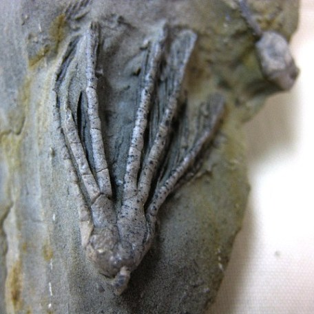 Fossil Mississippian Age Scytalocrinus Crinoid Plate from Crawfordsville Indiana
