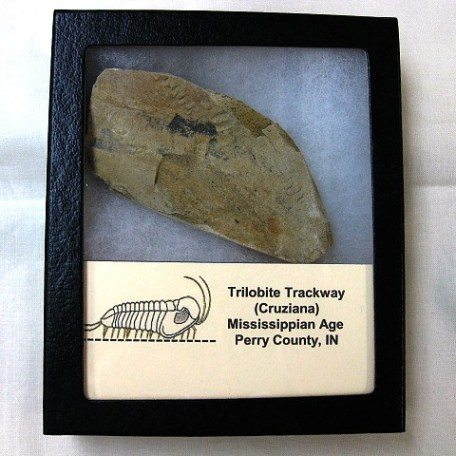 Fossil Mississippian Age Cruziana Trilobite Trackway from Indiana