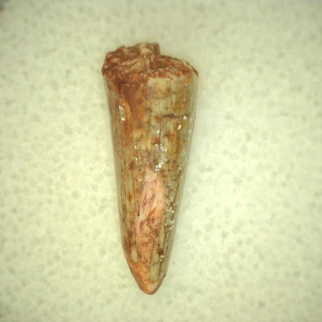 Fossil Triassic Age Aetosaurus Reptile Tooth from New Mexico