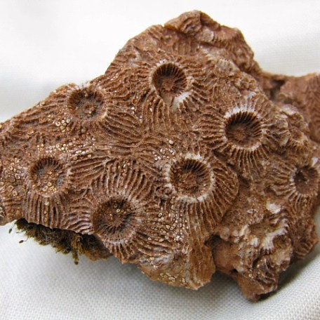 Fossil Devonian Age Pachyphyllum nevadense Coral from Arizona