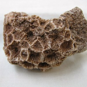 Fossil Devonian Age Hexagonaria occidens Coral from Arizona