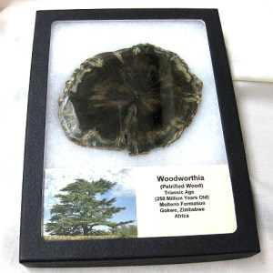 Fossil Triassic Age Woodworthia Petrified Wood from Zimbabwe Africa