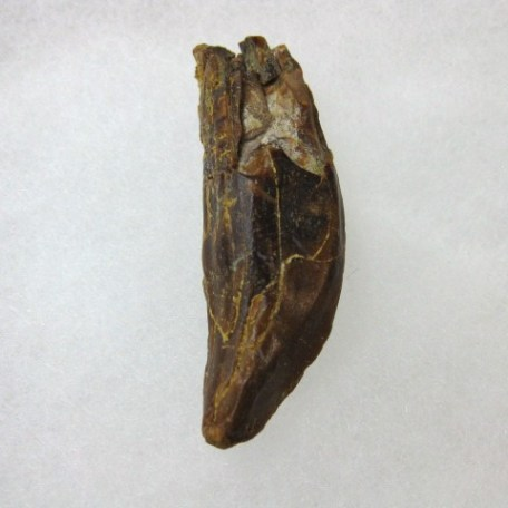 Fossil Eocene Age Dorudon Osiris Extinct Whale Tooth from North Africa