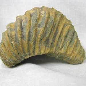 Fossil Cretaceous Age Pterotrigonia from Spain