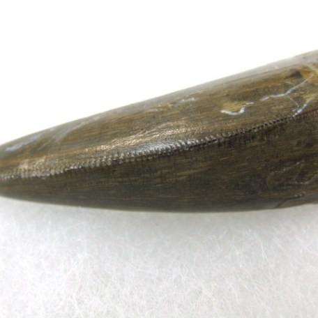 Fossil Cretaceous Age Tyrannosaurus Rex Dinosaur Tooth from the Hell Creek Formation of Montana
