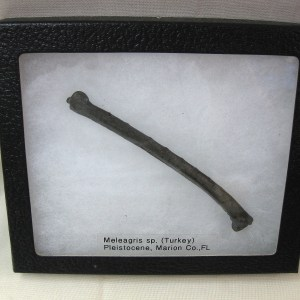 Fossil Pleistocene Age Meleagris Turkey Bone from Florida
