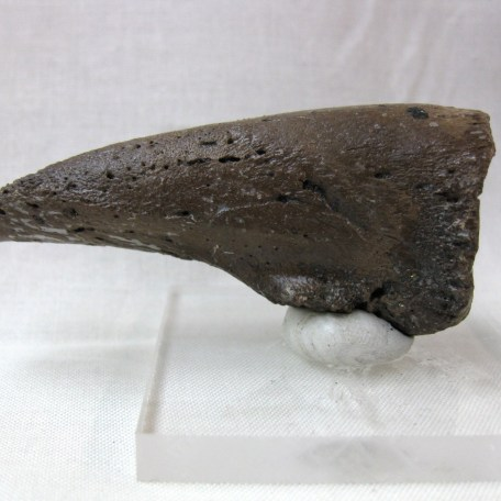 Fossil Pleistocene Age Paramylodon Ground Sloth Claw from Florida