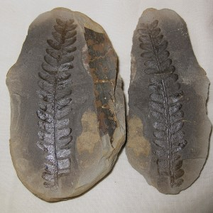 Fossil Pennsylvanian Age Mazon Creek Fern Nodule from Illinois