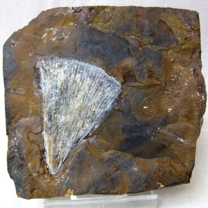 Fossil Paleocene Ginkgo adiantoides Leaf from North Dakota