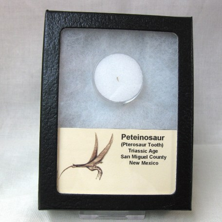 Fossil Triassic Age Peteinosaur Pterosaur Tooth from New Mexico