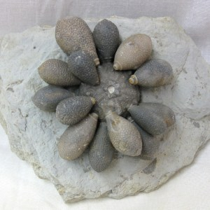 Fossil Cretaceous Age Asterocidaris meandrina Sea Urchin Plate from North Africa