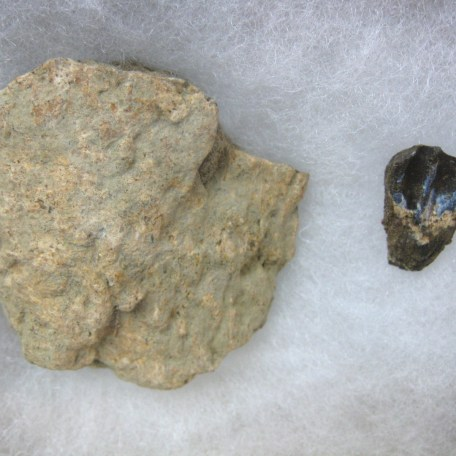 med. cretaceous triceratops frill & tooth set 41a