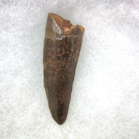 Fossil Cretaceous Age Spinosaurus Dinosaur Tooth from Morocco North Africa