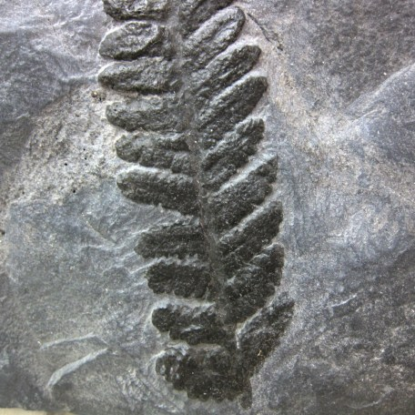 Fossil Carboniferous Fern from Germany